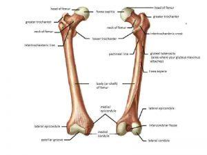 Femur Kemiği Anatomisi
